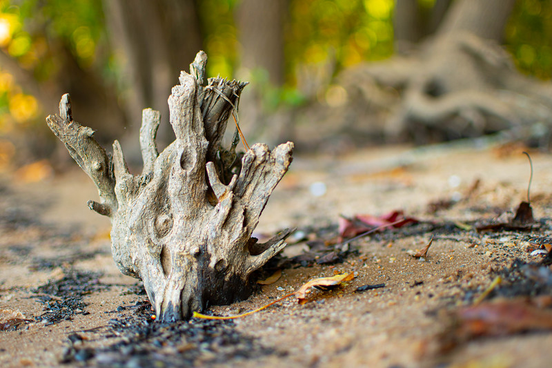 Developed beach tree trunk.jpg