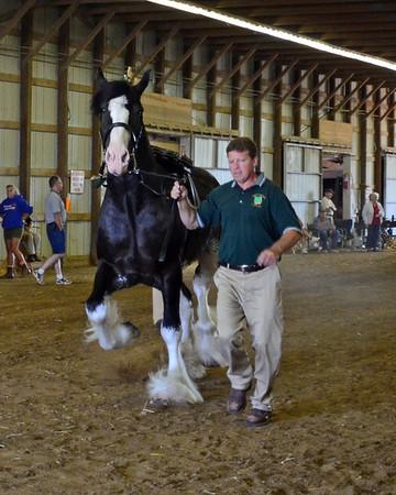 560 Stallion 3+ Clydesdale