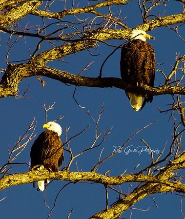 Eagles / MI