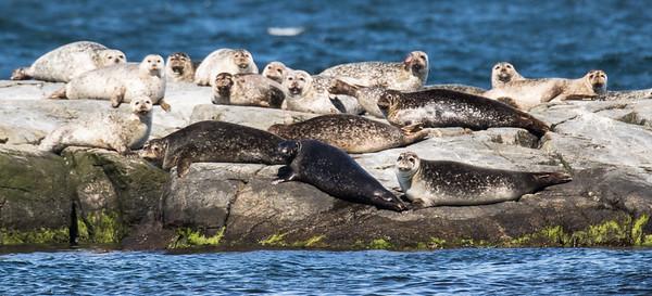 Grey Seal  ~ Gråsæl