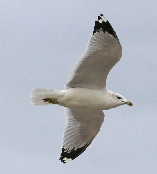 Seagulls 374