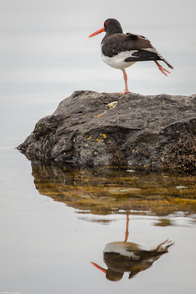 Oystercatcher Reflected