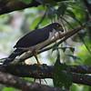 2017_ slaty-backed forest falcon_Gamboa Pipeline Road_Panama_AQ3T4637