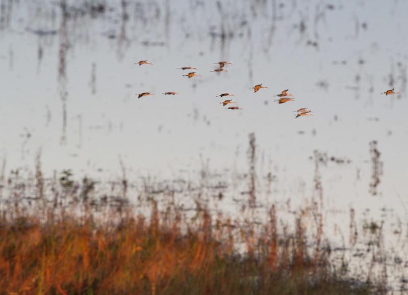 Sandhill Crane flock fly-in reflection Crex Meadows Grantsburg WI IMG_0050.jpg