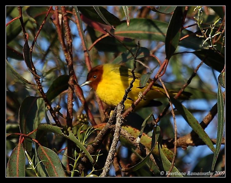 """Mangrove"" Yellow Warbler, Channel Way, San Diego County, California, January 2009"