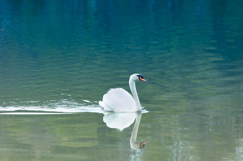 mute swan_-39.JPG