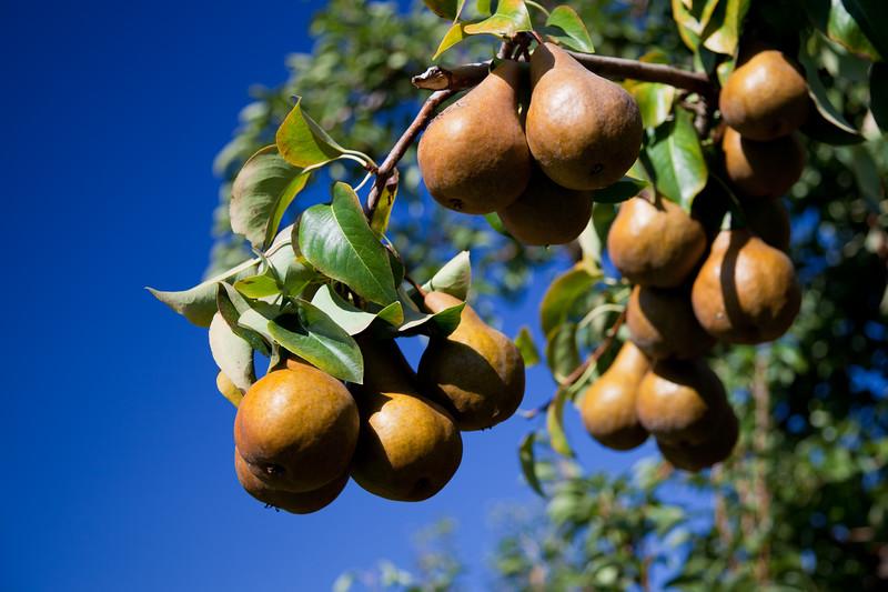 Fruit_Pears11-1001.jpg