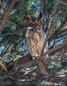 Lakewood Park Cemetery Great Horned Owl