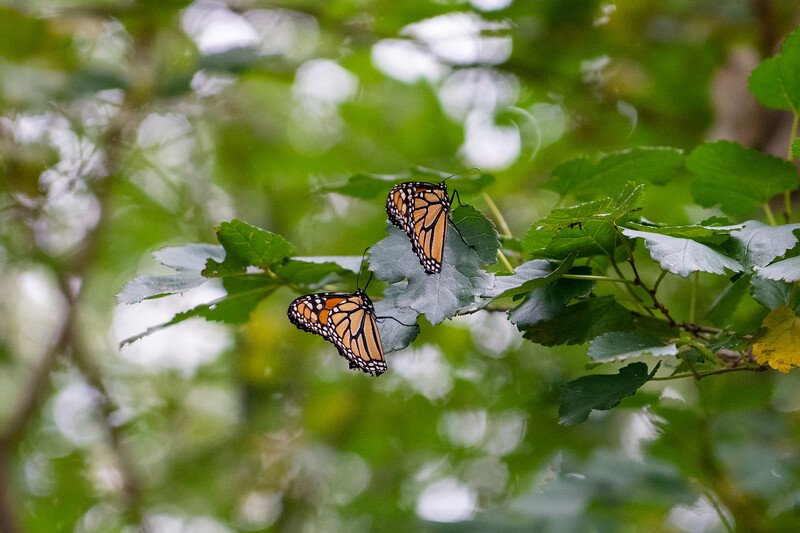 Monarch butterfly migration at Wendy Park