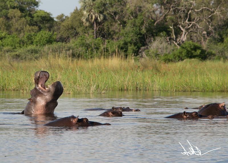 Hippos S-9.jpg