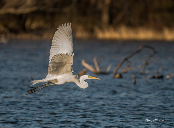 Great Egret IF 2_DWL4067.jpg