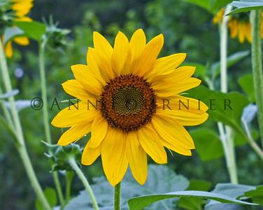 Sunflowers/Daisies
