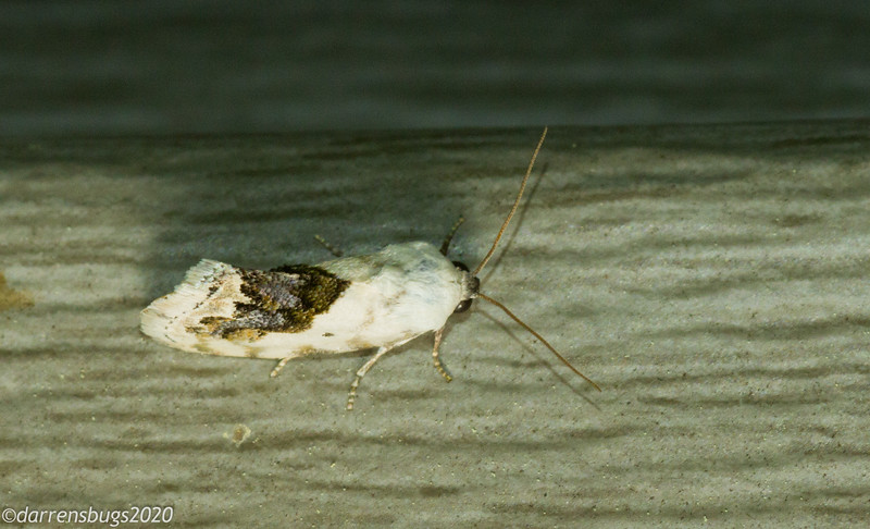 Small Bird Dropping Moth,  Ponometia erastrioides.