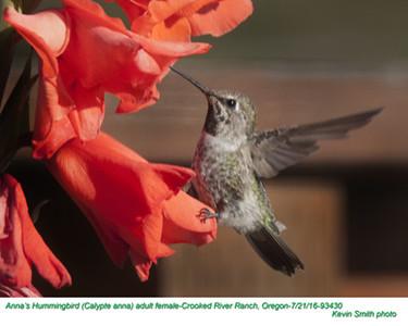 Anna's Hummingbird F93430.jpg