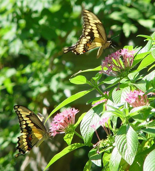 Giant Swallowtail 15 EH.jpg