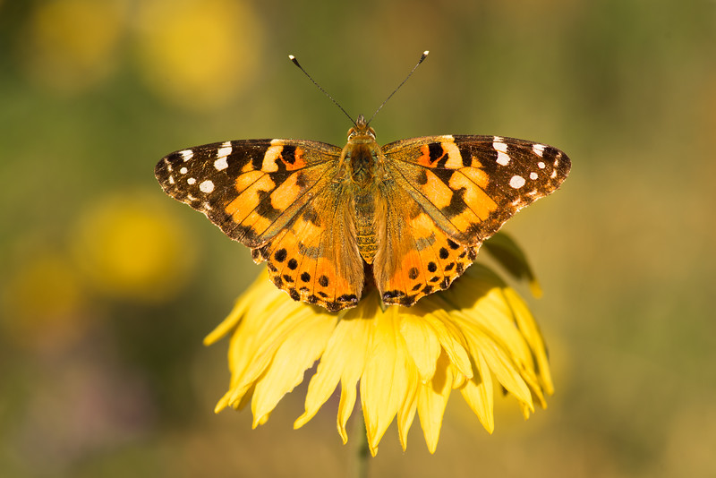 Painted Lady Close-up