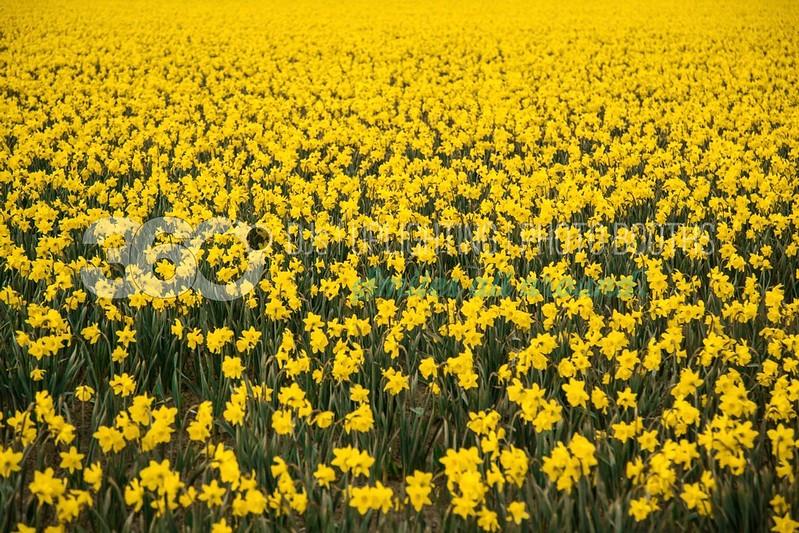 Daffodils_batch_batch.jpg