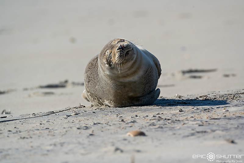 January 10, 2021 Seal Sunbathing, Hatteras Village, North Carolina