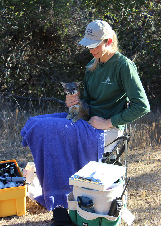 . Julie King administers medication to a fox. Driven to near extinction in 1999 after canine distemper dropped the population to a mere 100 individuals, biologists annually survey and monitor the health of the Catalina Island fox population. Photo By Bob Rhein