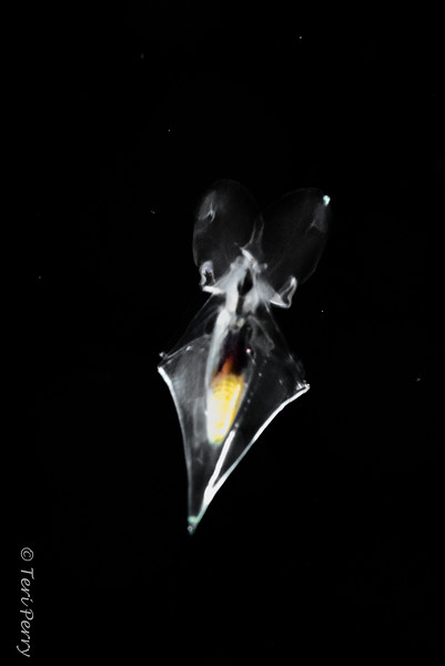 BLACKWATER - Pteropod - Creseis clava-0424.jpg