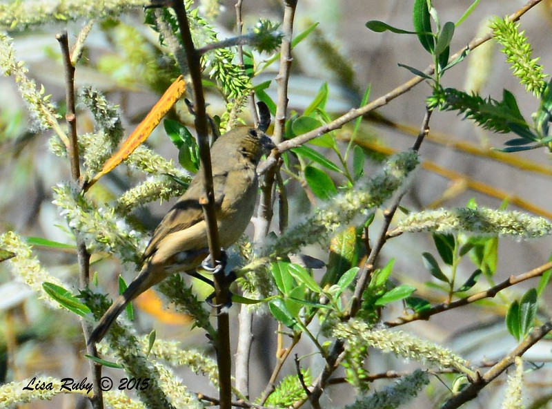 female White-collared Seedeater  - 2/15/15 - Dairy Mart