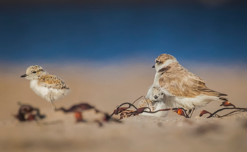 Snowy plover males care for fledglings.