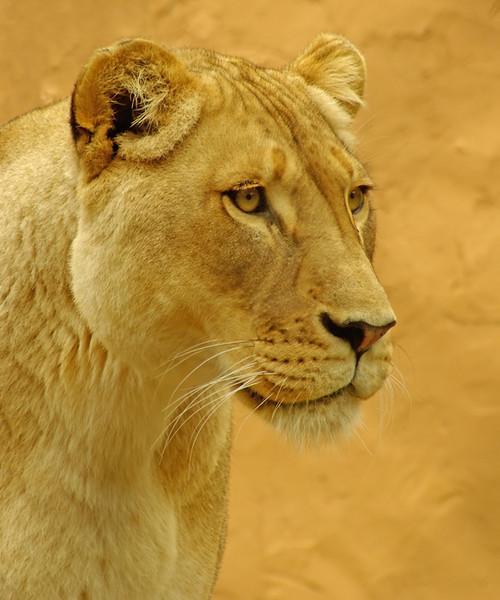Lioness-Jul-30,1.jpg