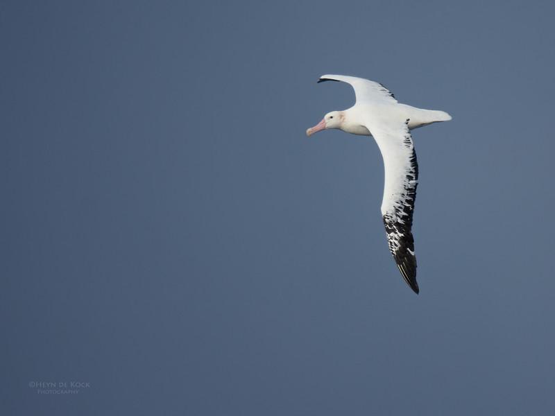Wandering Albatross, Eaglehawk Neck Pelagic, TAS, May 2016-1.jpg