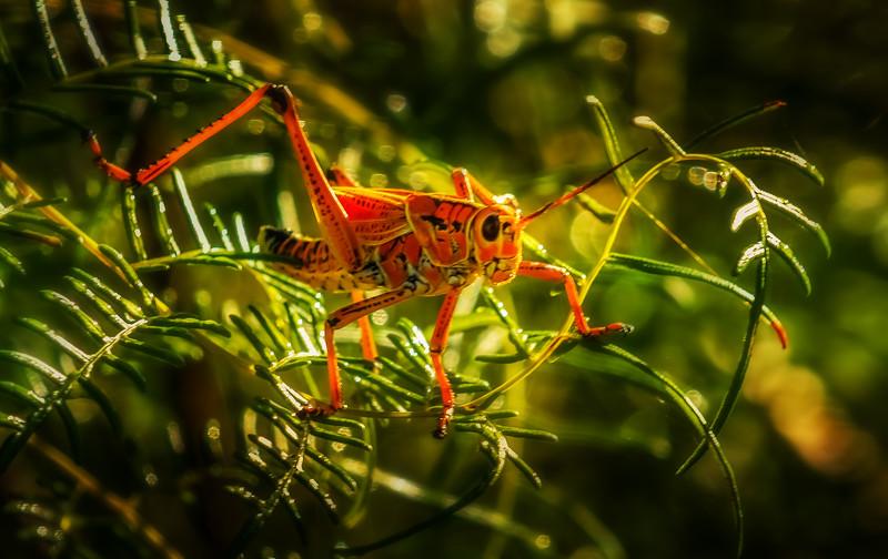 Grasshoppers 83.jpg