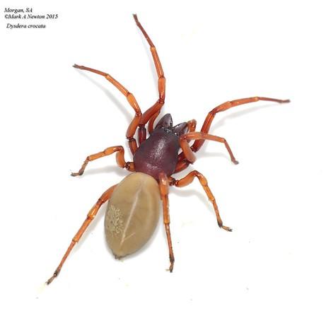 Dysderidae (Wood-Louse Spiders)