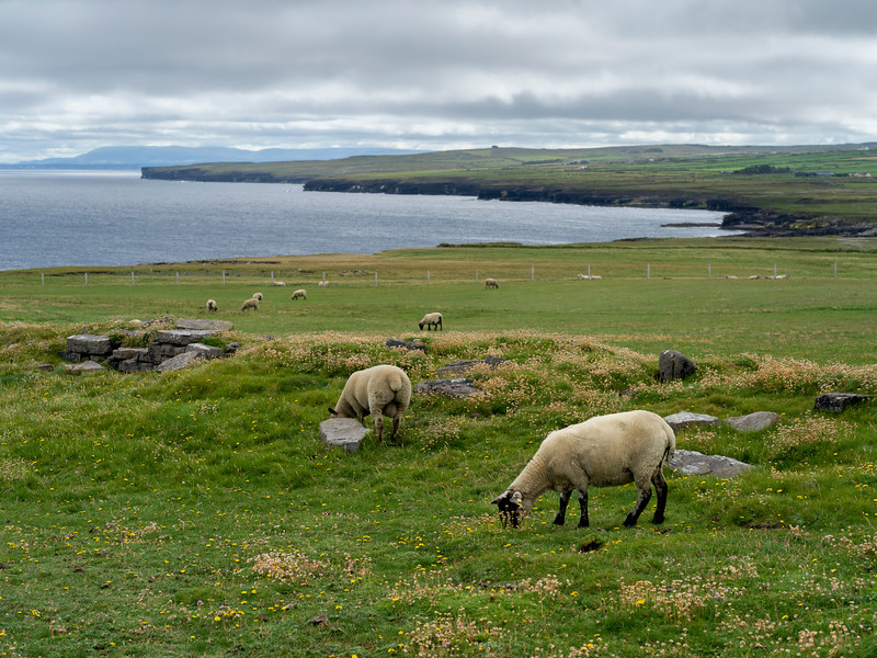 Flock of sheep grazing in a field, Downpatrick Head, Killala, County Mayo, Ireland