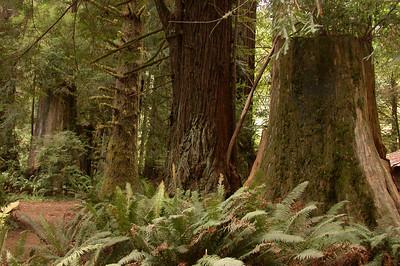 Redwoods NP & Arcata 2005