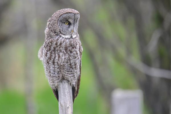 6 2013 Jun 11 Great Gray Owls*