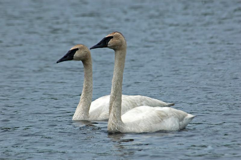 Swan - Trumpeter - Dunning Lake, MN - 01