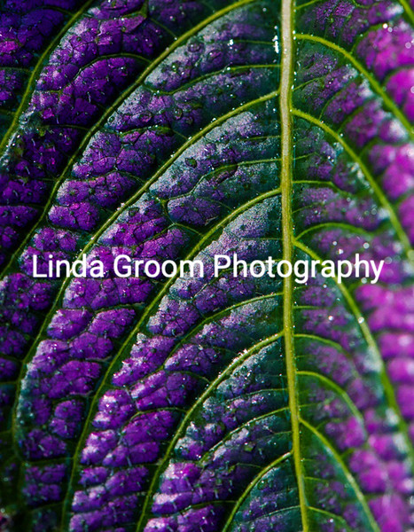 Green and Purple Leaf