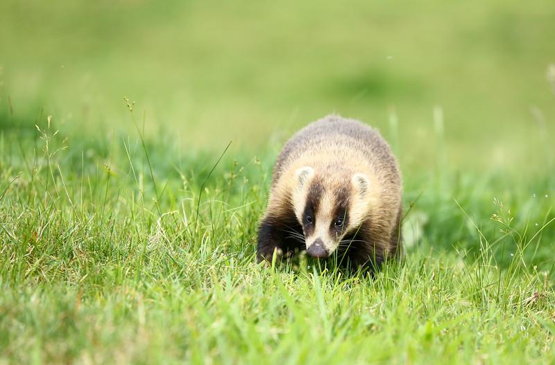 Japanese badger (ニホンアナグマ)
