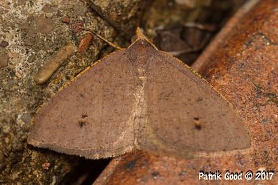 Orange-rimmed Backspot Moth