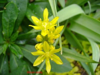 Allium moly.jpg