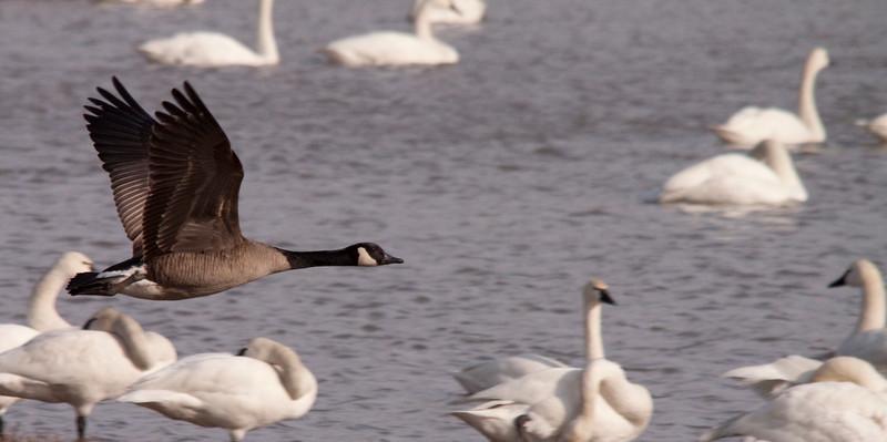 2011 swan migration aylmer (48 of 51).jpg
