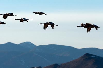 New Mexico, Bosque Del Apache 2012