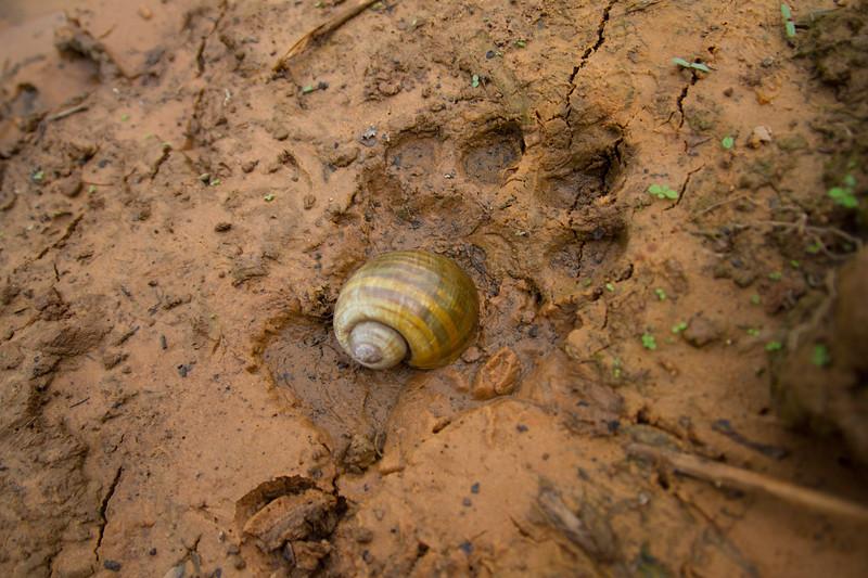 Jaguar (Panthera onca) Pantanal, Poconé, Brazil. Jaguar track with apple snail (Pomacea canaliculata)