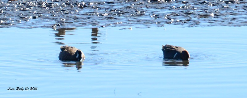 A seriously bad photo of male Blue-winged and Green-winged Teals - 12/29/2014 - San Diego River across from Sea World