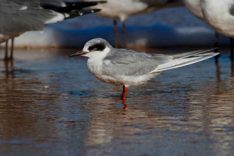 Forster's Tern hanging out on Ormond Beach