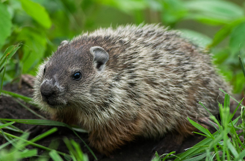 Young Woodchuck