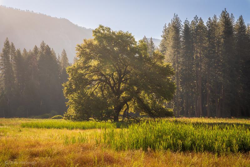 Yosemite Oak in Morning Glory