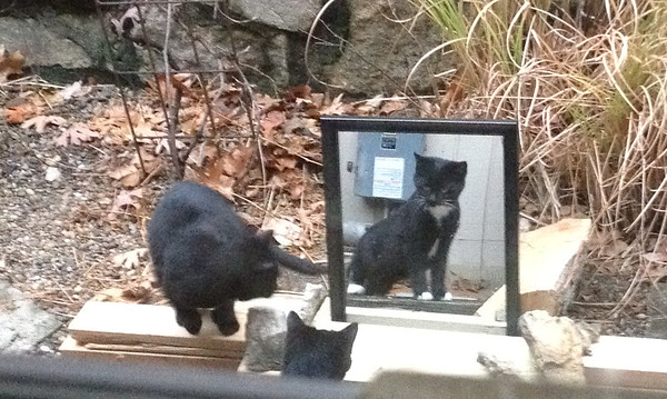Cats Explore Their Mirror
