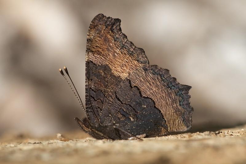 tortoiseshell Compton Tortoiseshell Nymphalis vaualbum Skogstjarna Carlton County MN IMG_0026960.CR2.jpg
