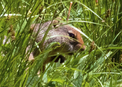Unita Ground Squirrel