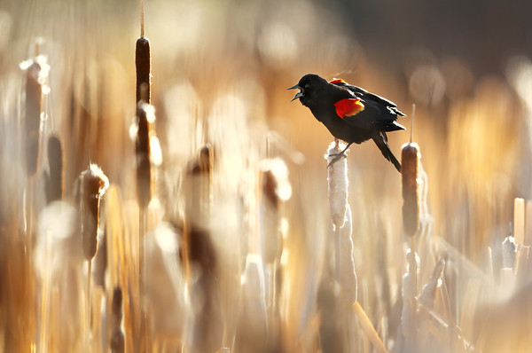 Blackbirds, Grackles & Meadowlarks