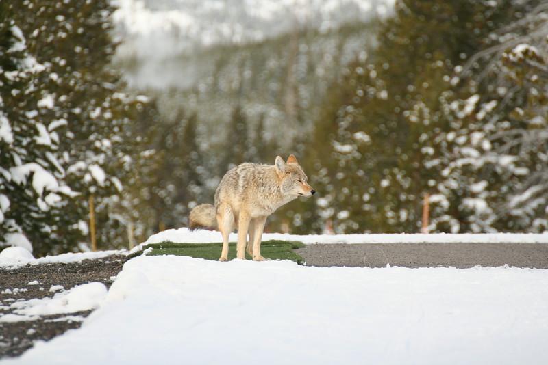 Coyote pooping on the ski tracks